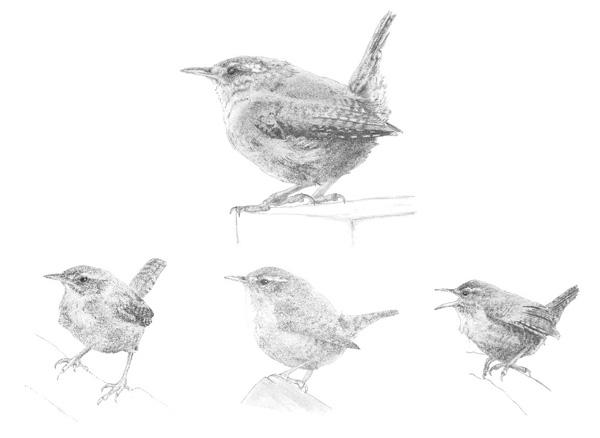 Pencil sketches of a wren