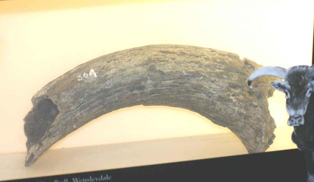 aurochs horn