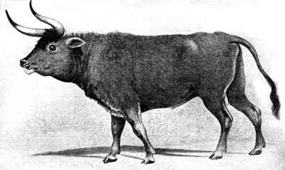aurochs print