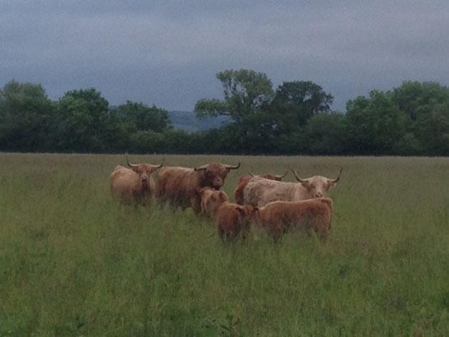 Doodale Highlanders herd