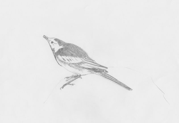 Pied Wagtail displaying