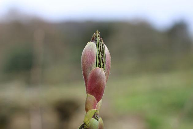Sycamore leaf bud