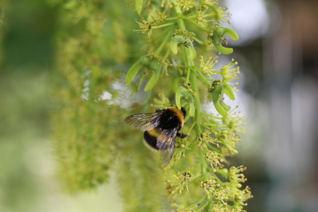 Wildlife moments - bee on Sycamore tree flowers