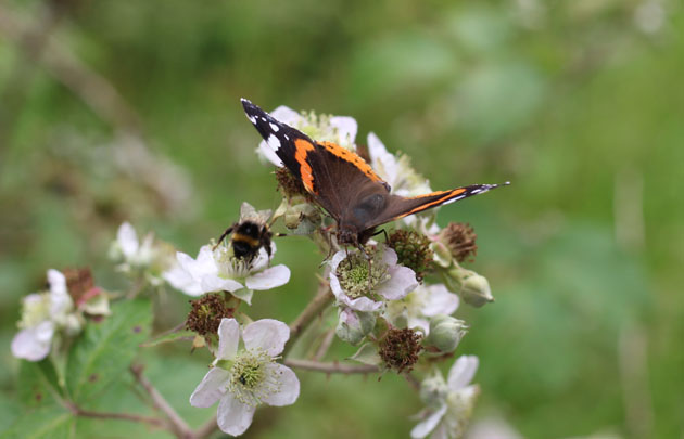 Butterfly and bee on bramble