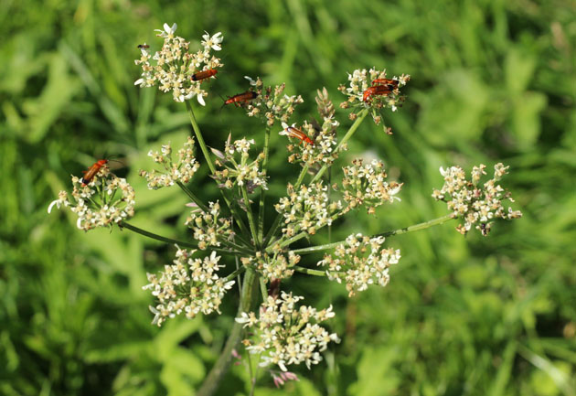 Common Red Soldier Beetles on hogweed