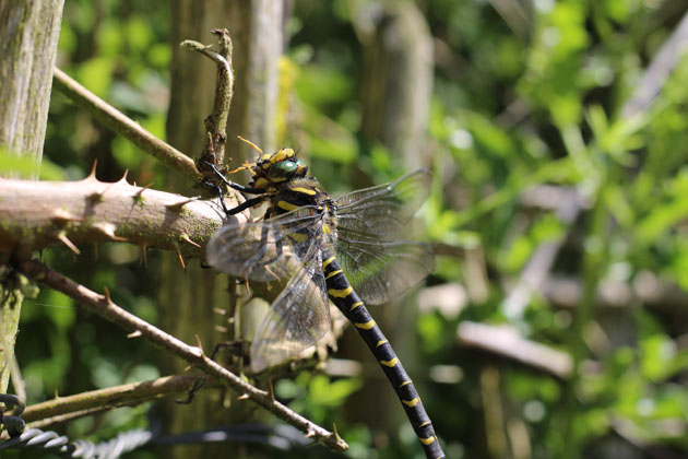 Dragonfly eating a wasp and chewing the legs last