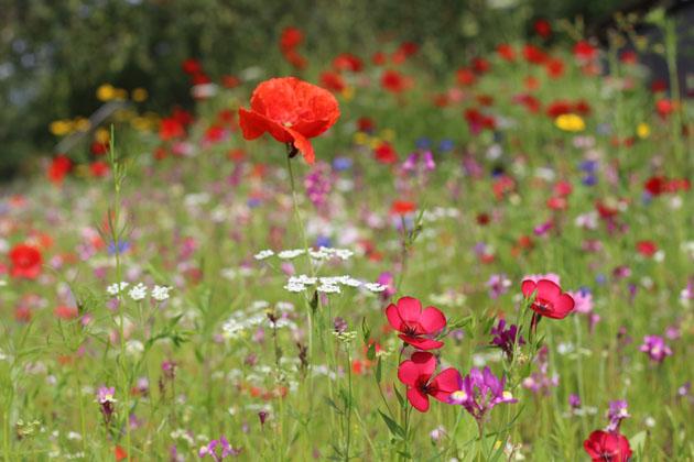 Wild Flowers at RHS Garden Harlow Carr