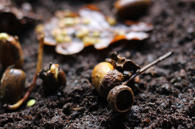 Acorns for planting