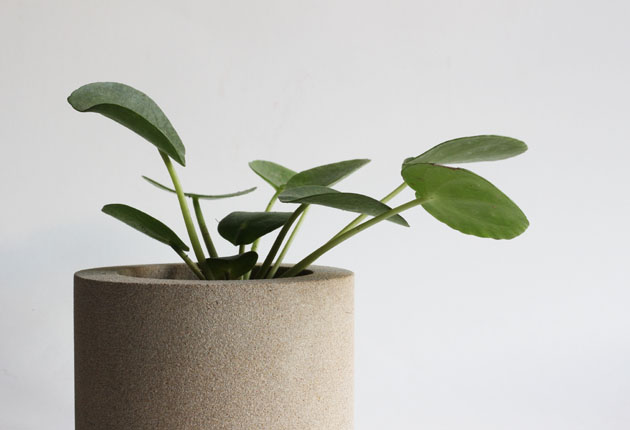 Stone pot filled with little Pilea Peperomioides