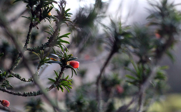 Yew tree filed with birds feeding on the seeds