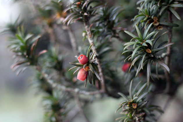Yew tree red berries