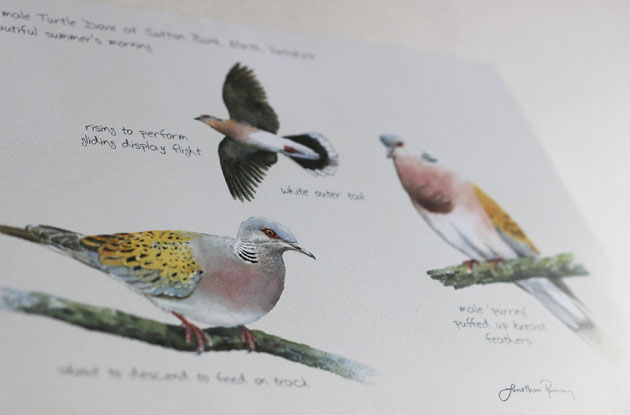 North Yorkshire Turtle Dove Project leaflet with glorious illustrations by Jonathan Pomroy