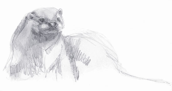 A pencil sketch of an otter