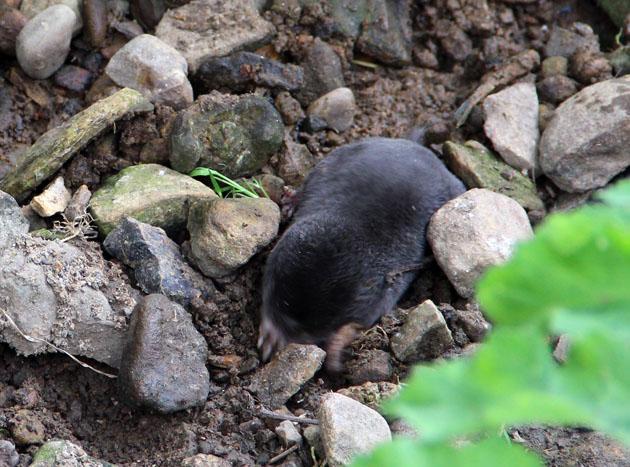 Mole foraging