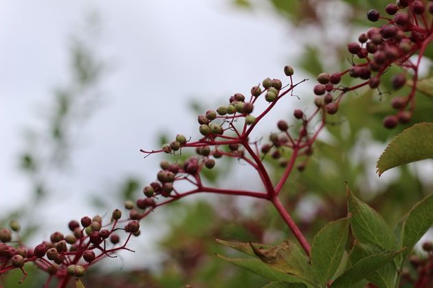 Elderberries in the hedgerow