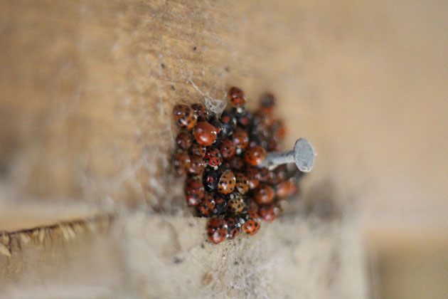 Ladybirds hibernating