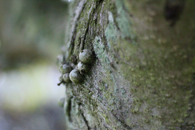 Nodules on holly bark