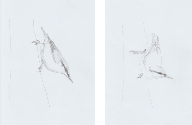Nuthatch pencil sketches