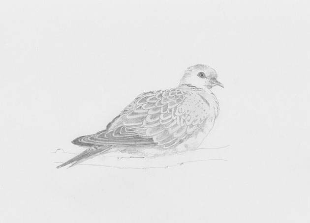 Pencil sketch of a Turtle Dove