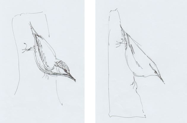 Nuthatch sketches