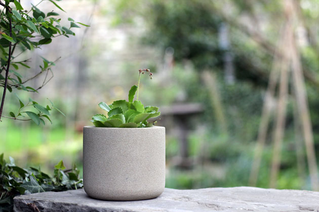 Saxifraga in a stone pot