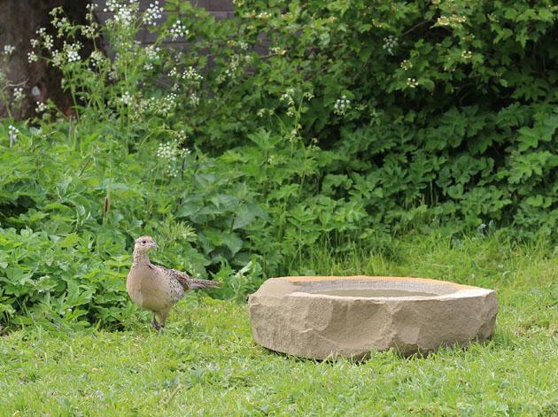 A pheasant visits my birdbath