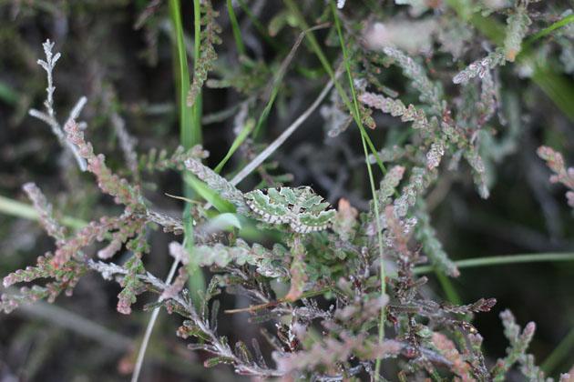 Green Carpet moth
