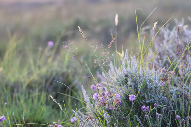 Bell heather at dusk