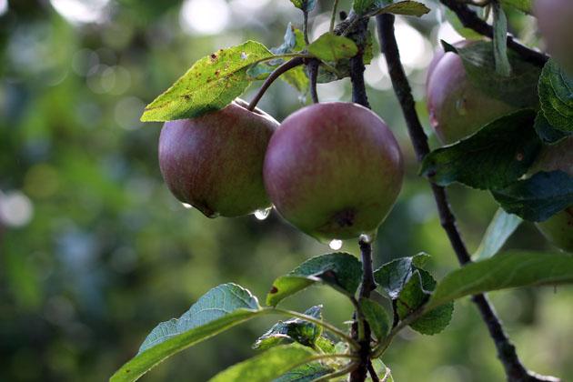 apples after rain