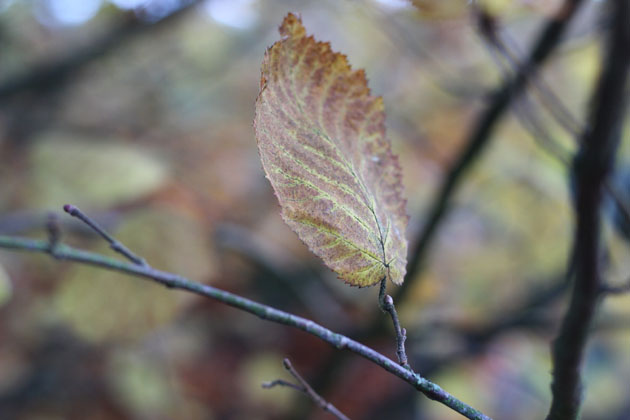 Leaf of Autumn