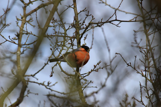 Bullfinch in the hedgerow