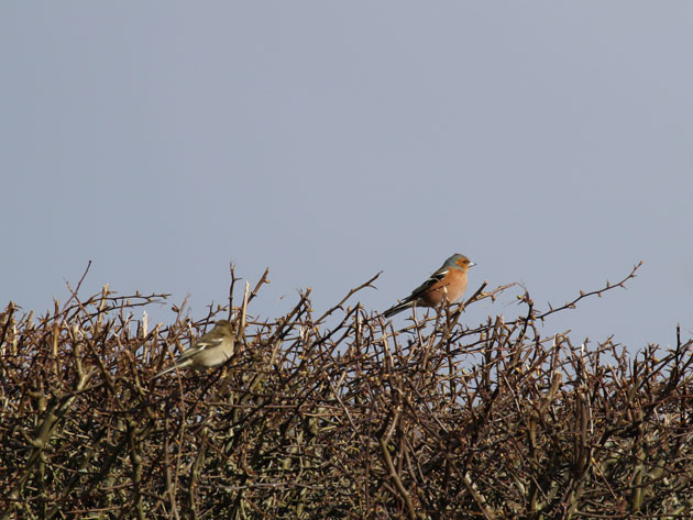 A pair of chaffinches in the hedgerow