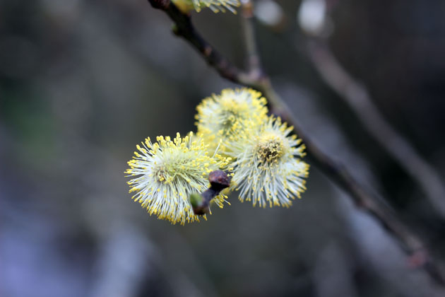 the willow tree flowering