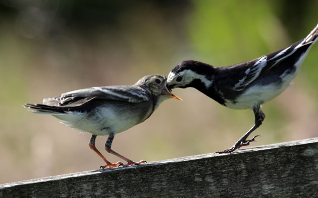 Fledgling Pied Wagtail being fed