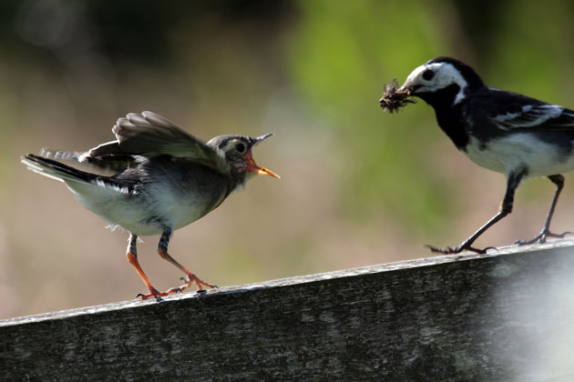 Food being brought to fledgling