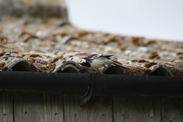 The parent Pied Wagtail searching for food