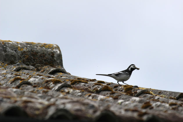 Pied Wagtail with food for young