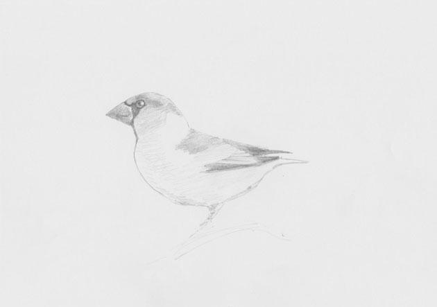 Hawfinch sketch