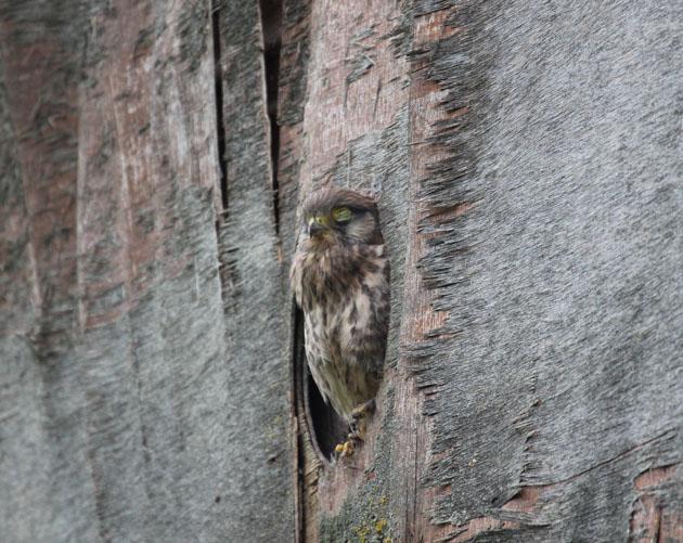 Snoozing Kestrel chick