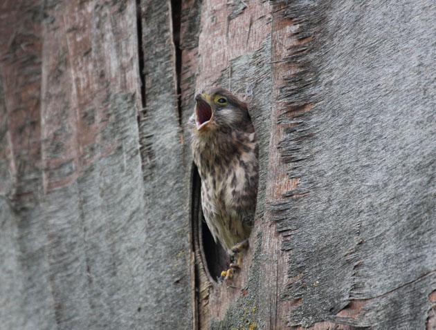 Yawning Kestrel chick
