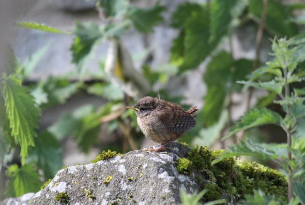 Wren fledgling